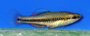 Bluefin Killifish