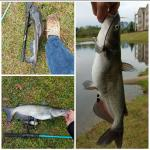 Multiple Channel Catfish (Ictalurus punctatus)