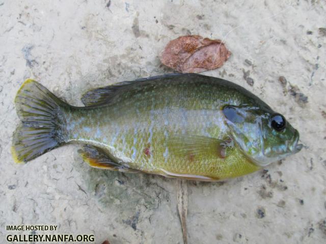 Green+Sunfish+_76_.JPG