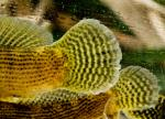 Fantail Darters (Etheostoma flabellare) tails