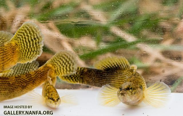 Fantail Darters (Etheostoma flabellare)