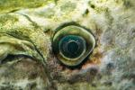 Alligator Gar (Atractosteus spatula) eye