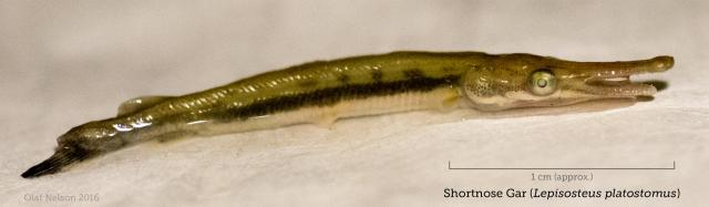 Young-of-the-year Shortnose Gar (Lepisosteus platostomus)