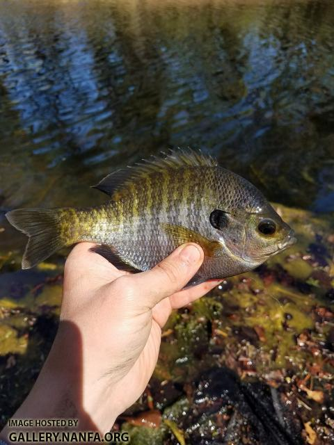 Coppernose Bluegill (Lepomis macrochirus purpurescens)
