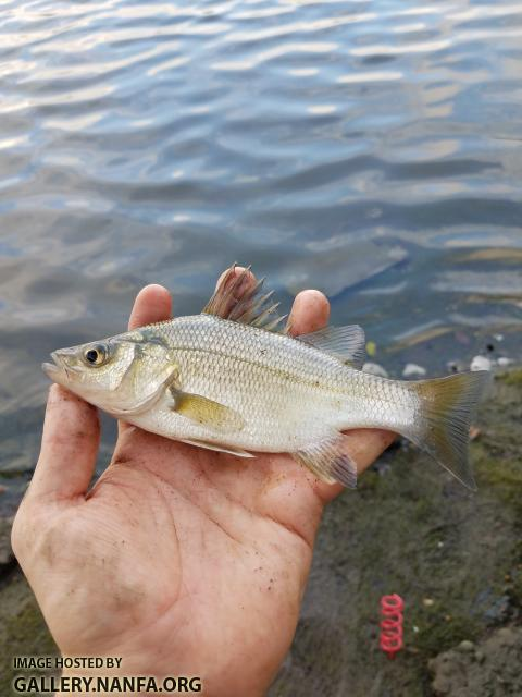 White Perch (Morone americana)