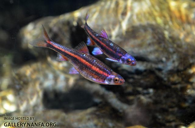 mated pair of rainbow shiners