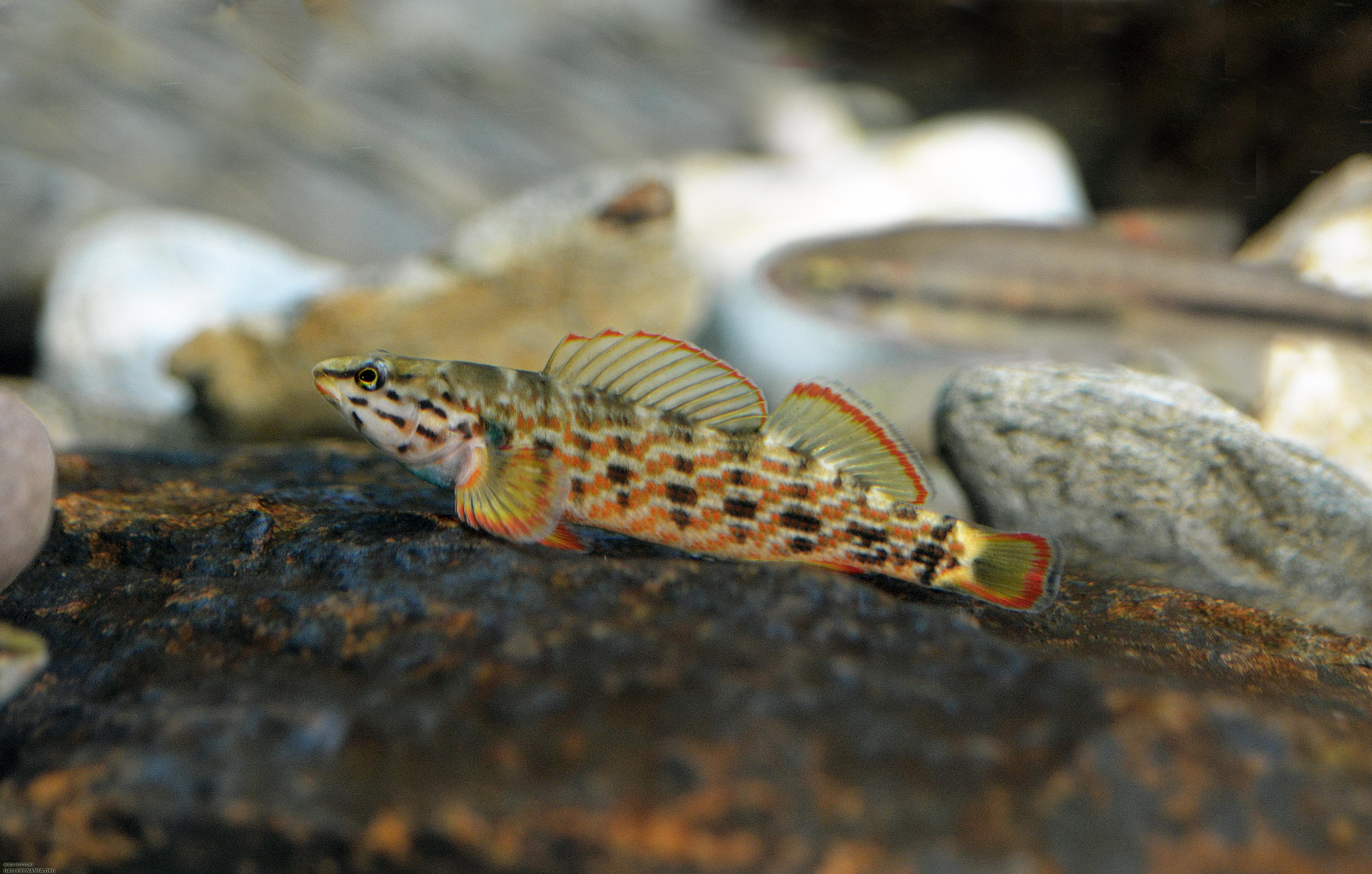 Very orange redline darter