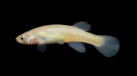 Fundulus-julisia