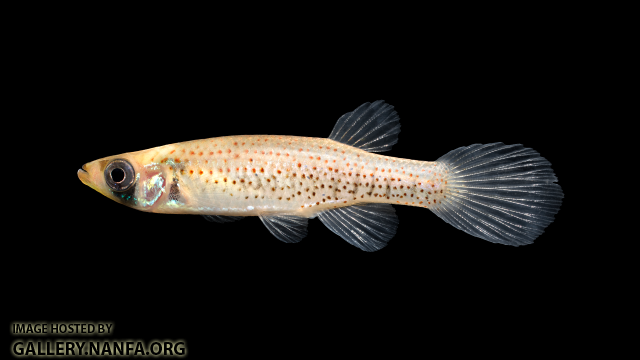 Fundulus-nottii-Female