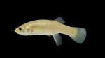 Fundulus-heteroclitus-female