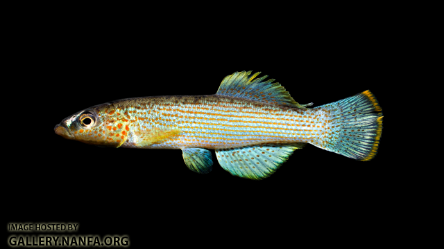 Fundulus-catenatus