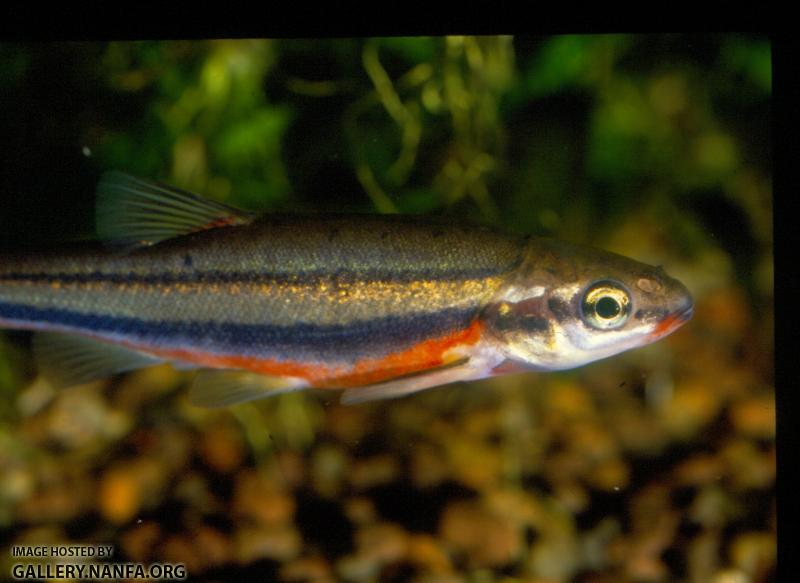 Southern Redbelly Dace