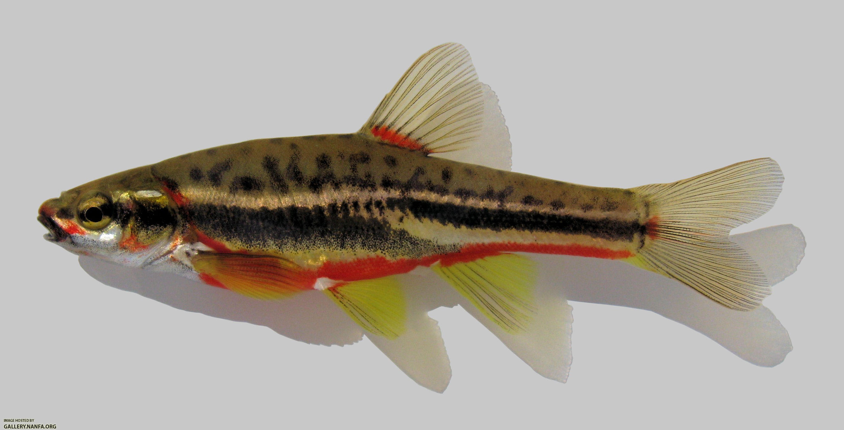 Freshwater fish dace - Chrosomus Oreas Mountain Redbelly Dace
