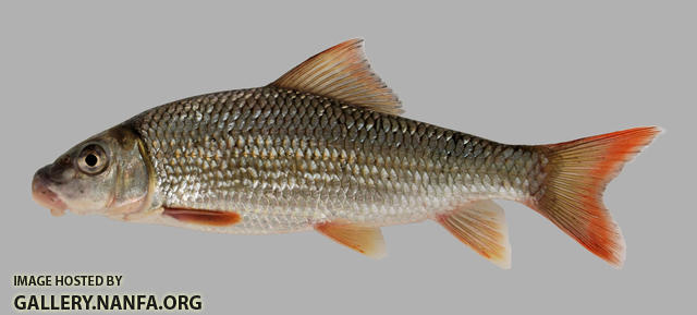 Moxostoma carinatum River Redhorse 2000