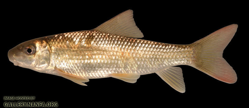 Moxostoma erythrurum Golden Redhorse 2000