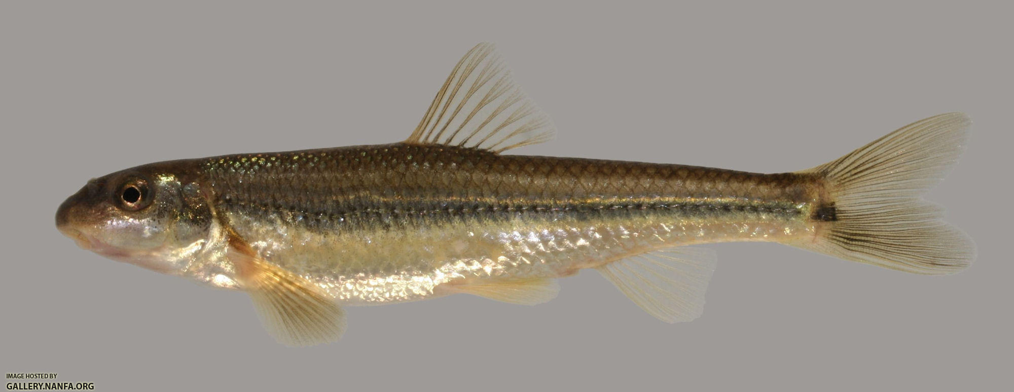 Phenacobius mirabilis Suckermouth Minnow 2000