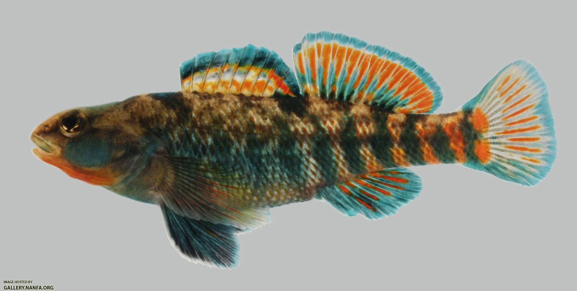 Etheostoma caeruleum  Rainbow Darter  male 2000