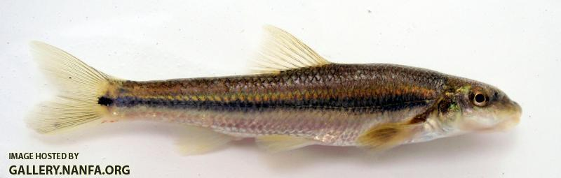 Suckermouth Minnow