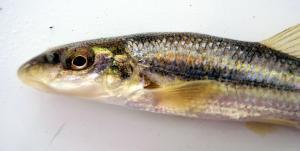 Luxilus chrysocephalus - Striped Shiner