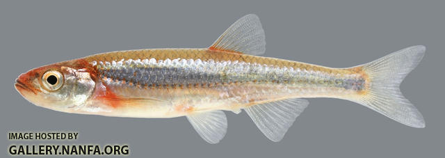 Notropis rubellus Rosyface Shiner 2000
