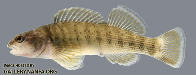 Etheostoma camurum Bluebreast Darter female 2000