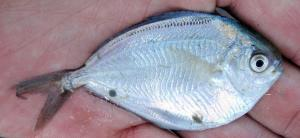 American Butterfish