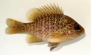Blackspotted Sunfish