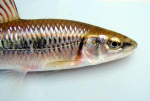 Alabama Shiner