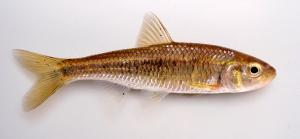 Southern Striped Shiner