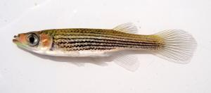 Lined Topminnow