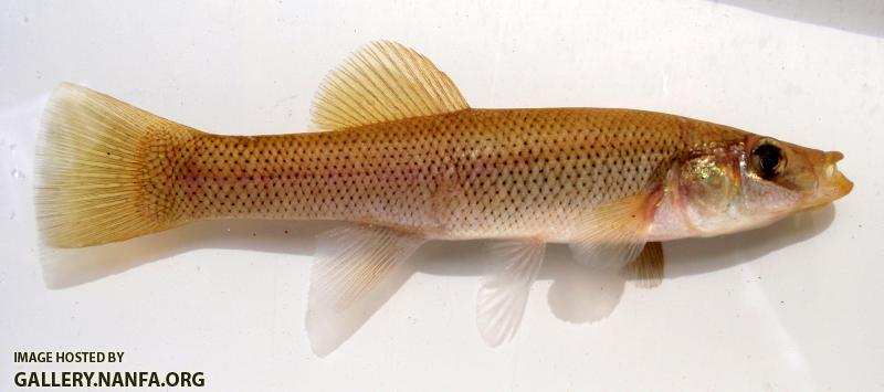 Seminole Killifish