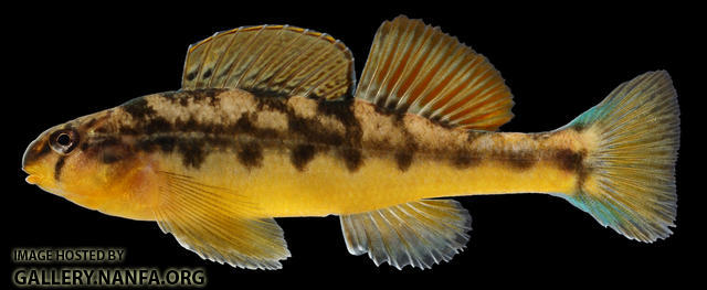 Etheostoma flavum