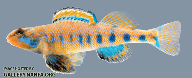 Etheostoma Obama, Spangled Darter