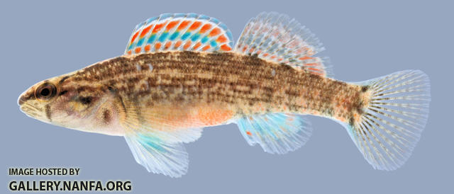 Etheostoma swaini  Gulf Darter 2000