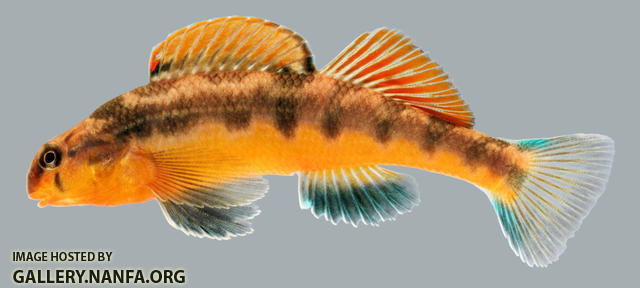 Etheostoma flavum   Saffron Darter Male 2000