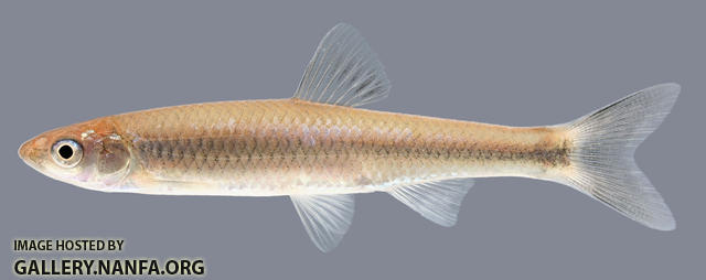 Cyprinella galactura  Whitetail Shiner 2000