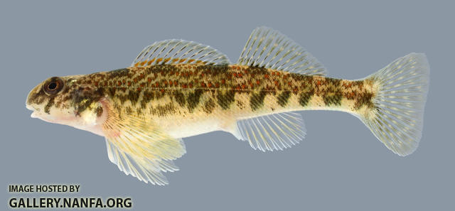 Etheostoma blennioides Greenside Darter Female 2000
