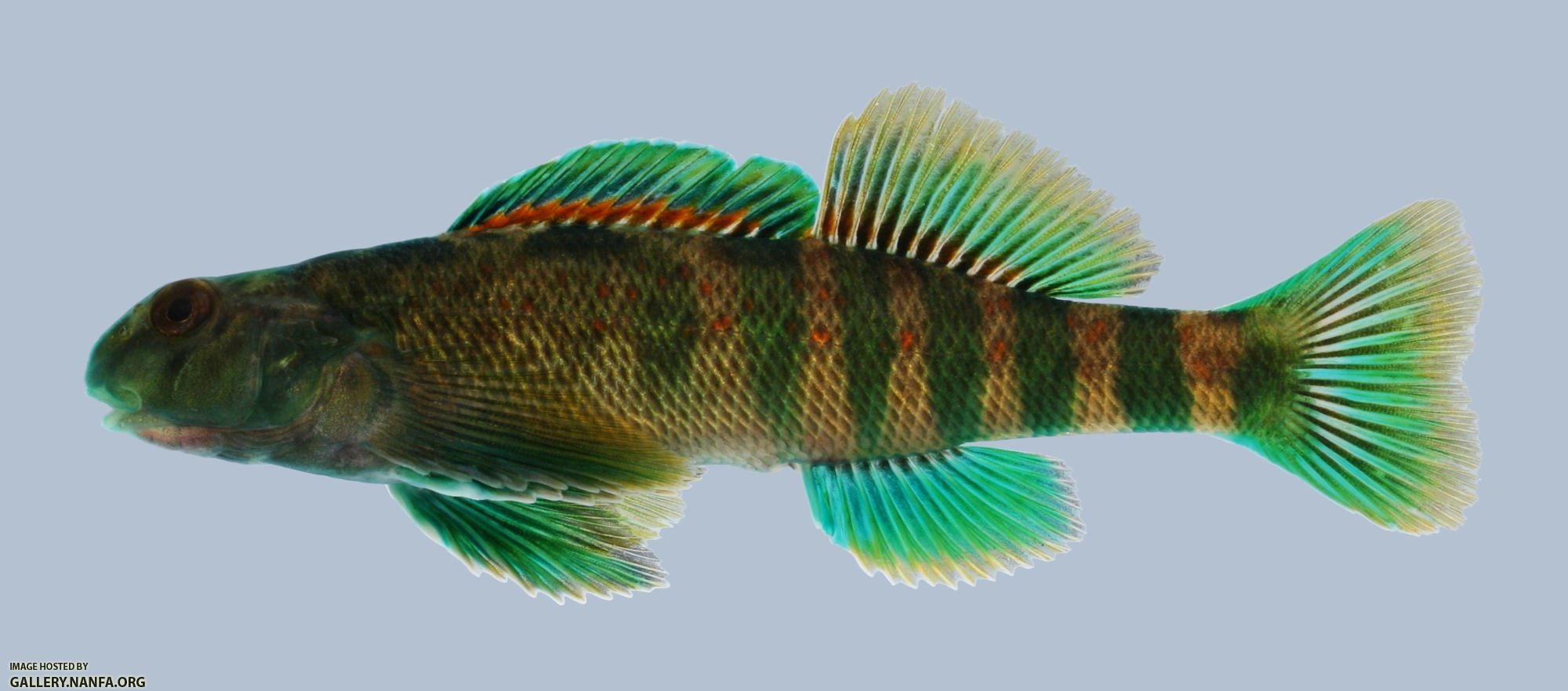 Etheostoma blennioides Greenside Darter Male 2000