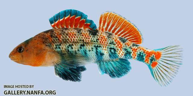 Etheostoma spectabile Orangethroat Darter male-2000
