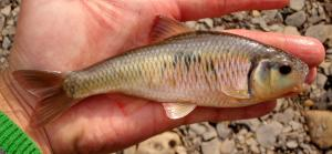 Central Striped Shiner