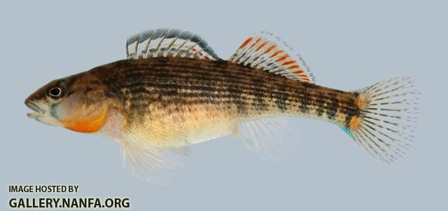 Etheostoma spectabile Orangethroat Darter Female