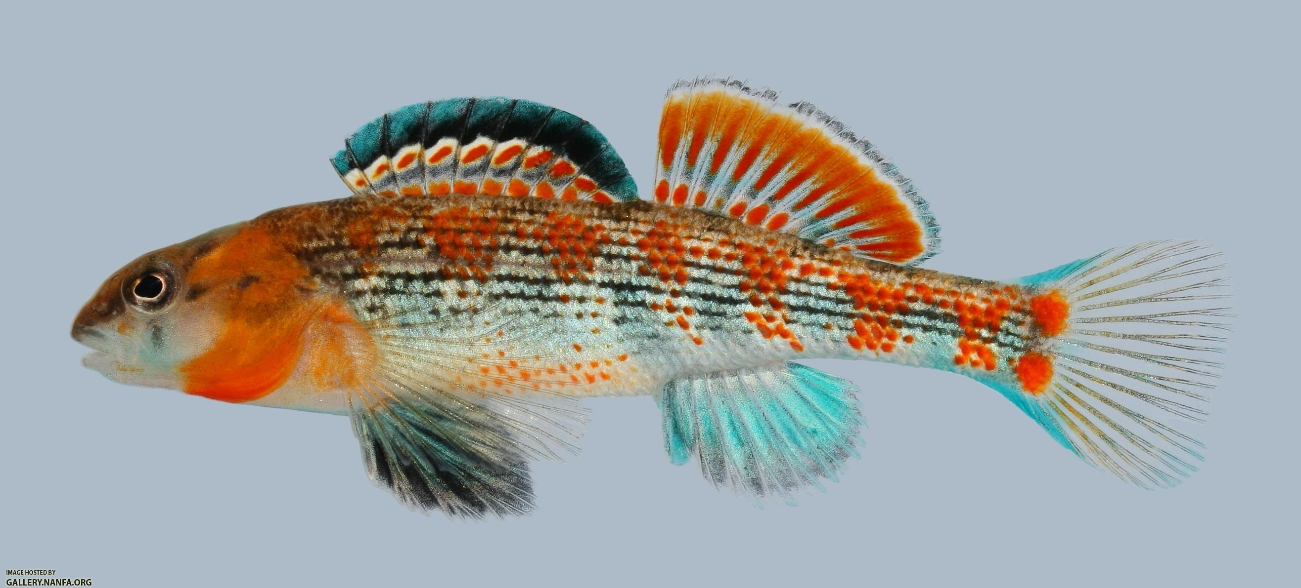 Etheostoma spectabile Orangethroat Darter Male