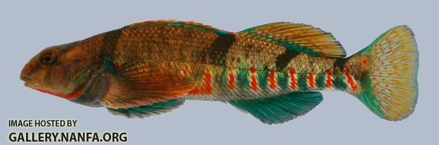 Etheostoma tetrazonum Missouri Saddled Darter Male