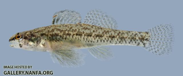 Etheostoma proeliare Cypress Darter Male 2