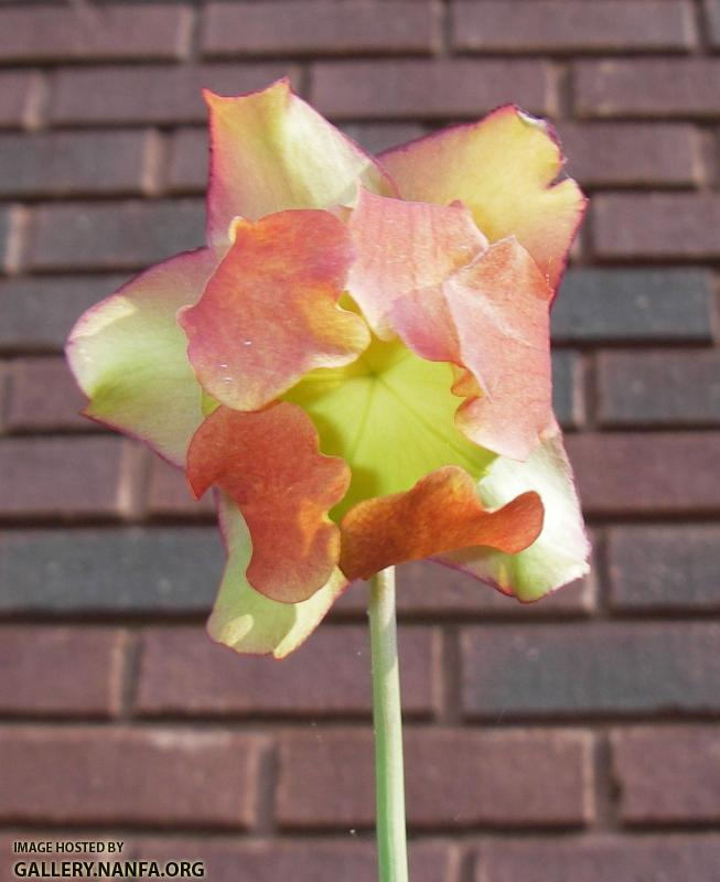 pitcher plant bloom