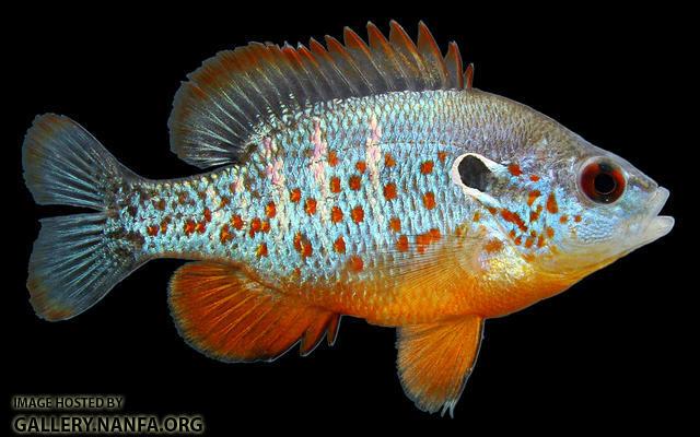 Orangespotted Sunfish