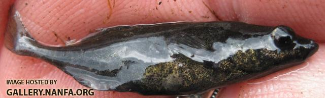 Brook Stickleback - Culaea inconstans