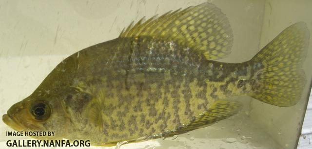 black_crappie_long_pond_sturbridge_ma.jpg
