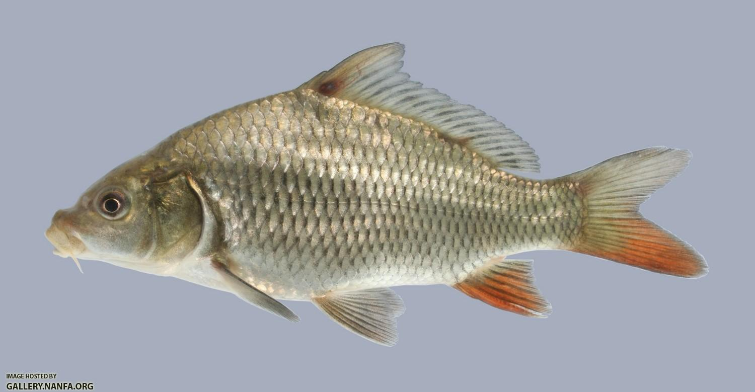 Opiniones de cyprinus for Carpa europea