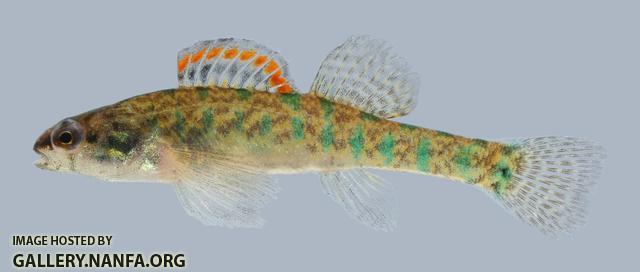 slough darter Etheostoma gracile